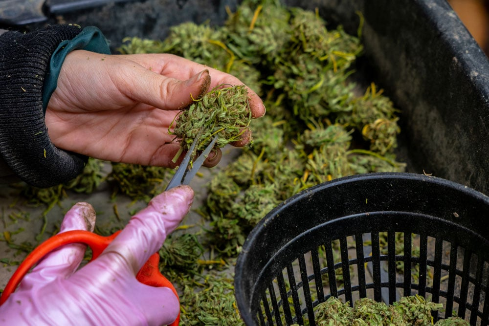 Factory employee of MaxCBD Wellness cutting cannabis.